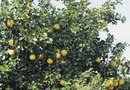 Grapefruit Tree Size