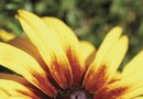 Botanical Name for Black-Eyed Susan Vine