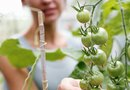 How to Graft a Potato & Tomato Plant Together