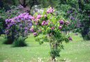 How to Start Lilacs