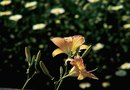Can You Plant Day Lilies on a Steep Hill?