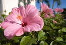 The Differences Between a Rose of Sharon & a Hibiscus
