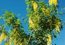 How to Treat Sunscald on a Golden Chain Tree