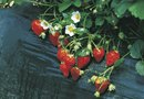 How to Grow Strawberries in Tiers