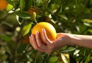 pH Level Very High in Citrus Trees