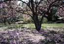 How to Fertilize an Old Japanese Cherry Tree