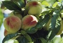 Organic Pesticides & Fungicides for Fruit Trees