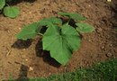 How to Grow Italian Squash