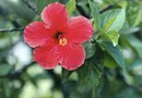 How to Help an Over-Watered Hibiscus