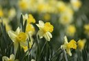 How to Care for a Tete-a-Tete Daffodil