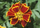 Should You Deadhead Marigolds Immediately After Planting?