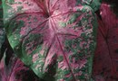 How Much Sun Can a Caladium Take?