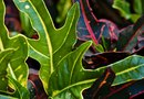 Can You Replant a Croton Branch?