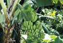 How to Winter a Cavendish Banana