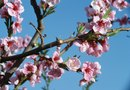 Types of Diseases & Infestation Found on Peach Trees