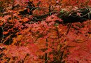 Sunlight Requirements for Japanese Maple