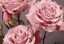 Varieties of Hybrid Tea Roses