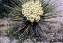 How to Prune a Yucca After Flowering