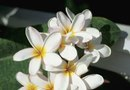 How to Propagate Frangipani
