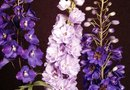 Growing Zones for Delphiniums