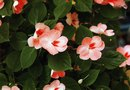 How to Transplant Impatiens From a Basket to a Pot