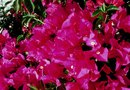 How to Care for a Bougainvillea Plant