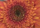 Pollination Strategies for Gerbera Daisies