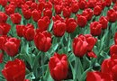 Types of Red Tulips