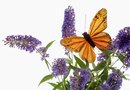 How to Start a Butterfly Bush From a Cutting