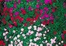 Outdoor Temperatures for Impatiens Plants