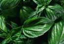 How to Grow Sweet Basil in a Pot