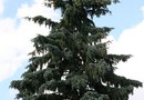 How to Plant Yearling Blue Spruce