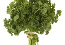 How to Harvest Parsley