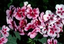 Different Varieties of Perennial Geraniums