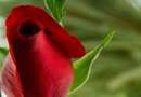 Home Remedies for Reviving Long-Stem Red Roses