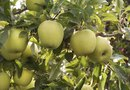 How to Prune a Granny Smith Green Apple Tree