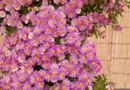 How to Prune Purple Dome Aster