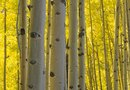 How to Replant a Birch Tree