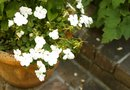 Proper Depth for Planting Impatiens