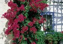 How to Train Bougainvillea to Go Over Pergola