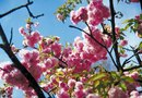 What Is an Ornamental Cherry Tree?