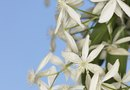 White Clematis Plants