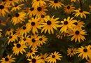 Identification of a Black-eyed Susan