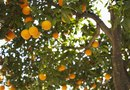 Curled Leaves on Orange Trees