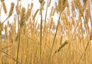 How to Harvest Wheat for Dried Arrangements