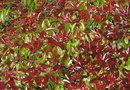 How to Correct Iron Chlorosis in Photinia Shrubs