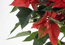 How to Rid a Poinsettia of Whiteflies