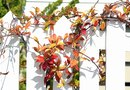 The Best Plant Vines to Grow on Fences