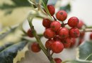 What Eats a Holly Bush?