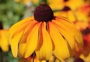 Is Rudbeckia Maxima Similar to the Black-Eyed Susan?